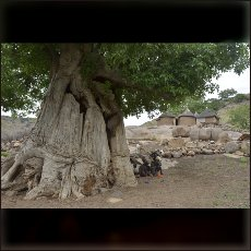 Baobabs are best friends to vulnerable Nuba families.